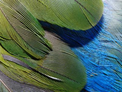 Detailed View of the Texture of the Feathers of a Red-Winged Parrot by Jason Edwards