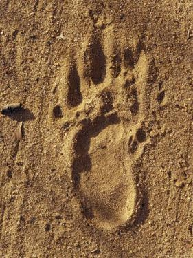 Endangered Northern Hairy-Nosed Wombat Foot Print Track in Sand, Australia by Jason Edwards