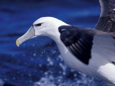 Head, Eye and Beak Detail of a Vulnerable Shy Albatross in Flight, Australia by Jason Edwards