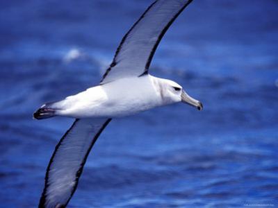 Majestic Vulnerable Shy Albatross in Flight over a Blue Ocean, Australia by Jason Edwards