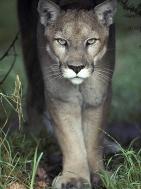 Mesmerising Glare of a Stalking Puma Hunting Prey, Australia by Jason Edwards