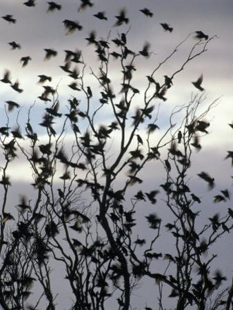Migrating Common Starling Flock at Sunset Take Flight, Australia by Jason Edwards