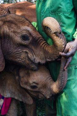 Orphaned African Elephant Calves Suckle on the Fingers of a Wildlife Carer by Jason Edwards