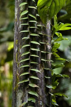 Parallel Leaves Sprout from the Stalk of a Vine Climbing a Tree Trunk in the Amazon Rainforest by Jason Edwards