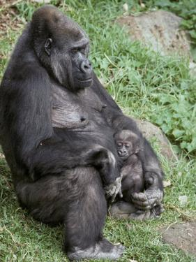 Relaxed Western Lowland Gorilla Mother Tenderly Nursing Her Infant, Melbourne Zoo, Australia by Jason Edwards