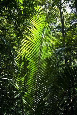 Sunlight Passing Through the Tree Canopy Backlights the Frond of a Palm by Jason Edwards