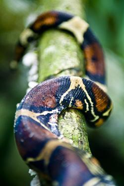 The Coiled Scale Patterns of a Red-Tailed Boa Constrictor Wrapped around a Rainforest Vine by Jason Edwards
