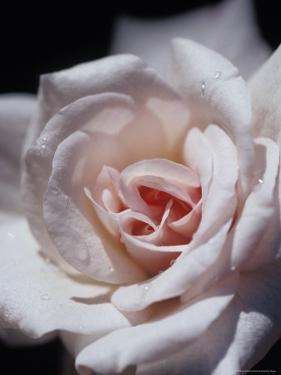 The Delicate Pale Pink Petals of a Dainty Cecil Brunner Rose, North Carlton, Australia by Jason Edwards