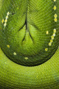The Emerald Coils and Scales of a Green Tree Python Hanging in a Saddle over a Branch by Jason Edwards