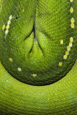 The Emerald Coils and Scales of a Green Tree Python Hanging in a Saddle over a Branch