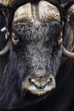 The Enormous Horned Head and Intense Stare of a Cautious Musk Ox by Jason Edwards
