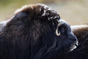 The Enormous Shoulder Hump and Thick Fur of the Musk Ox by Jason Edwards