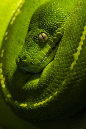 The Golden Eye, Emerald Coils and Scales of a Green Tree Python Hanging over a Branch