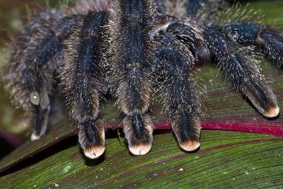 The Hairy Segmented Legs and Pink Feet of a Pinktoe Tarantula by Jason Edwards