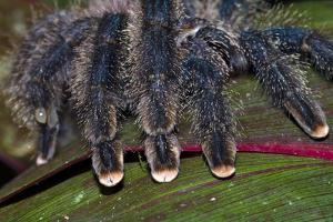 The Hairy Segmented Legs and Pink Feet of a Pinktoe Tarantula by Jason Edwards