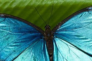 The Iridescent Metallic Blue Scales and Veins on the Wing of a Menelaus Blue Morpho Butterfly by Jason Edwards