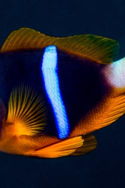 The Iridescent Neon Blue Stripe on the Flank of an Anemonefish at Night by Jason Edwards
