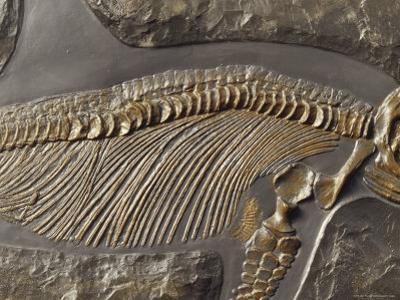 The Ribs and Spine of Ichthyosaur Fossil Stenopterygius Quadriscissus, Australia