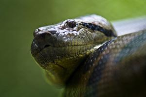 The Scaled Head of a Green Anaconda Peers from its Large Muscular Coils by Jason Edwards