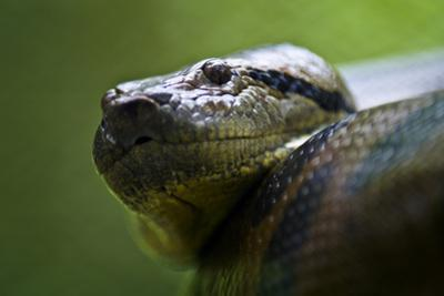 The Scaled Head of a Green Anaconda Peers from its Large Muscular Coils