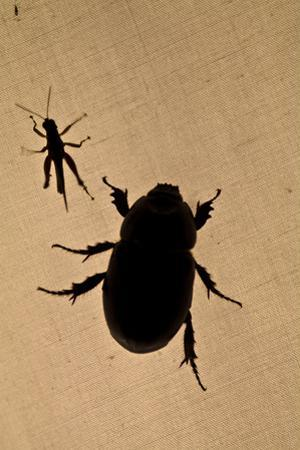 The Silhouette of a Beetle and Grasshopper Resting on Tent Canvas in the Amazon Rainforest at Night by Jason Edwards