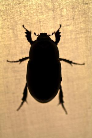 The Silhouette of a Beetle Resting on the Canvas of a Tent in the Amazon Rainforest at Night by Jason Edwards