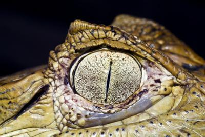 The Textured and Leathery Scales on the Skin Surround the Eye of a Black Caiman by Jason Edwards