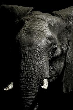 The Wrinkled Trunk and Face of an African Elephant by Jason Edwards