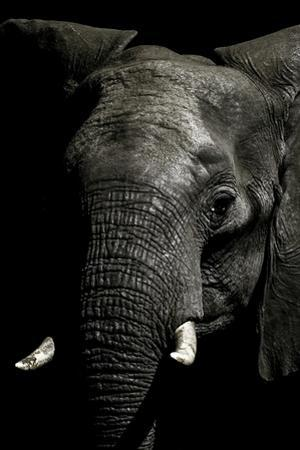 The Wrinkled Trunk and Face of an African Elephant