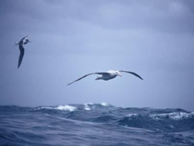 Wandering Albatross Gliding in Flight over the Ocean Surface, Australia by Jason Edwards