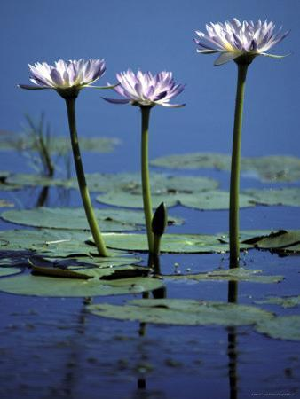 Water Lily Flowers Bloom from a Wetland Oasis in the Top End, Australia