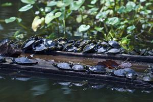 Yellow-Spotted River Turtles Bask in the Sun on Logging Mill Timber Floating in a Wetland by Jason Edwards