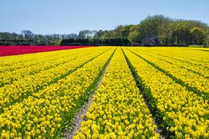 Dutch tulips in bloom in a bulb field in early spring., Nordwijkerhout, South Holland, Netherlands, by Jason Langley