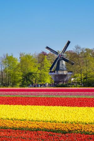 Netherlands, South Holland, Lisse. Dutch tulips flowers in a field in front of the Keukenhof windmi by Jason Langley
