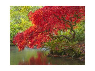 Japanese Maple over water