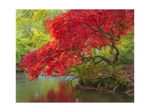 Japanese Maple over water by Jason Matias