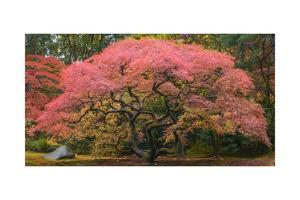 Japanese Maple Tree 1 by Jason Matias