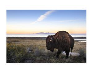 Utah Bison by Jason Savage