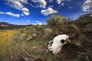 Yellowstone Bison Skull by Jason Savage