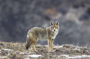 Yellowstone Coyote by Jason Savage
