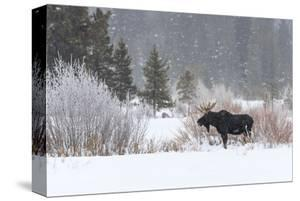 Yellowstone Moose by Jason Savage