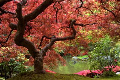 Japanese Maple by Jason Vandehey
