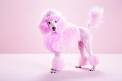 Miniature Pink Poodle, Pink Poodle,Studio by Jasper White