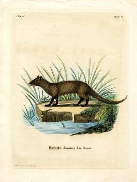 Javan Mongoose