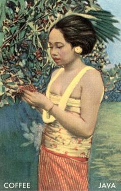 Javanese Girl Picking Coffee