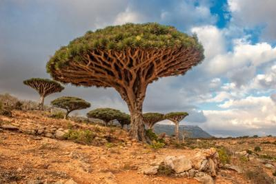 Dragon Trees at Dixam Plateau, Socotra Island, Yemen by javarman