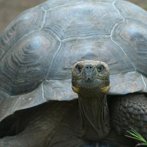 Giant Turtle, Galapagos Islands, Ecuador by javarman