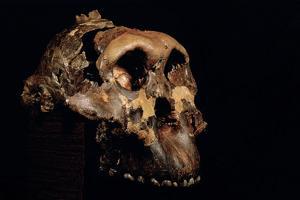 Paranthropus Boisei Skull by Javier Trueba