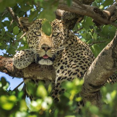 A Leopard, Panthera Pardus, Rests in a Tree by Jay Dickman