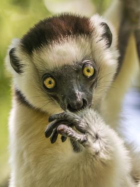 Portrait of a Lemur, Lemuroidea, in a Tree by Jay Dickman
